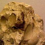 photo of Brachiopod cementstone